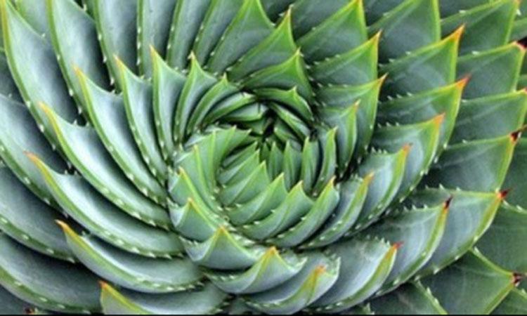 On retrouve la suite de Fibonacci dans toute la nature