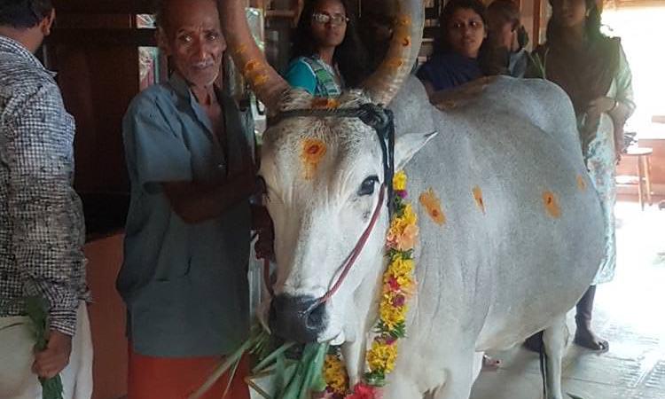 Cow Puja est un rite hebdomadaire au centre de médecine traditionnelle ayurvédique en Inde